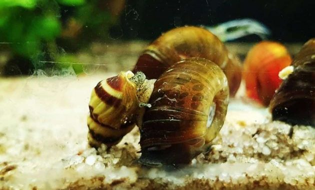 5 Effective Ways To Get Rid Of Ramshorn Snails In The Aquarium