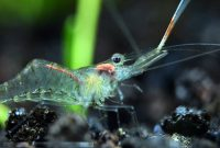 Algae Eating Shrimp for Freshwater Aquarium: Ghost Shrimp 2