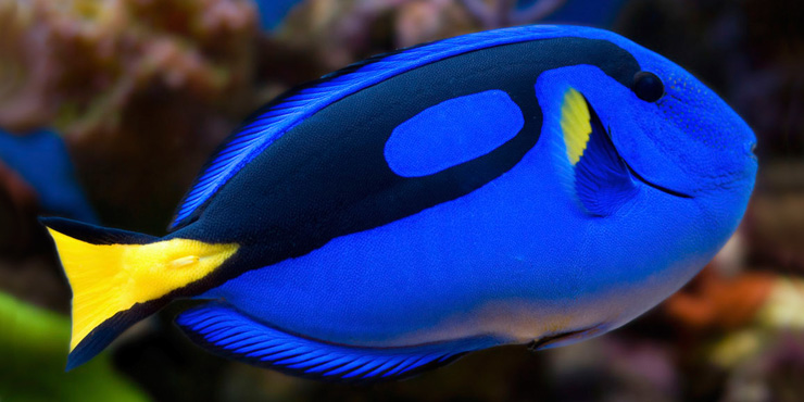 Awesome Algae Eaters Tropical Fish: Blue Tang