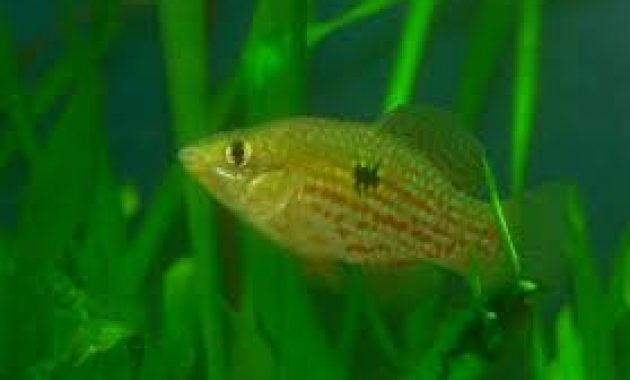 Best Choice Algae Eating Fish for Aquarium: American Flagfish 2