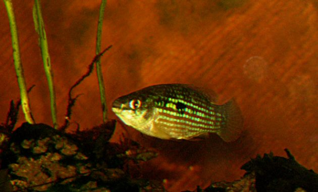 Best Choice Algae Eating Fish for Aquarium: American Flagfish 3