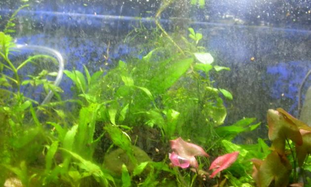 How to Stop Green Dust Algae Growth in an Aquarium