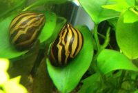 Awesome Algae Eaters : Zebra Nerite Snail