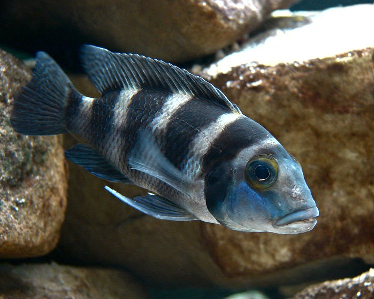 Freshwater Algae Eaters for Loyal Tank Cleaner: African Cichild