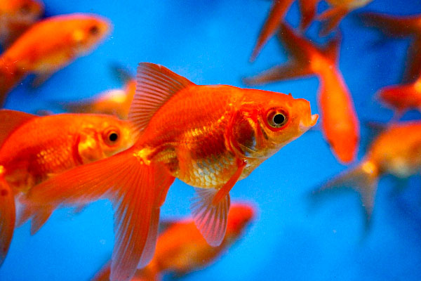Goldfish Facts And Information