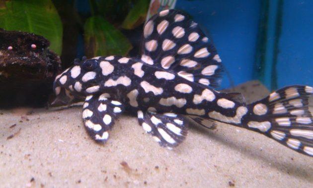 Tropical Fish for Freshwater Aquariums: Pleco Fish