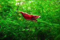 Red Cherry Shrimp: The Good Algae Eating Shrimp for an Aquarium 2