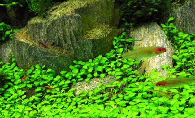 Choose The Plants For Aquascape Iwagumi Style