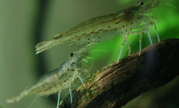 The Best Hard Woking Algae Eaters: Amano Shrimp 2