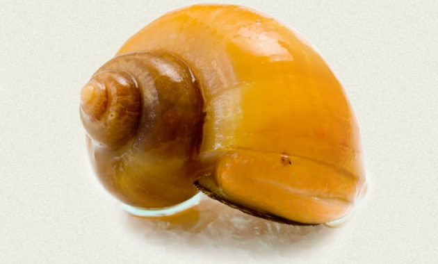 The Best Snail for Algae Control in Fish Tank: Golden Apple Snail