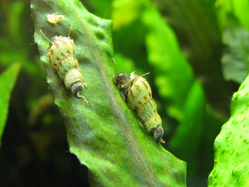 The Little World of the Algae Eaters Snails: Malaysian Trumpet Snail