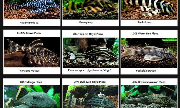 Types of Dwarf Pleco Fish