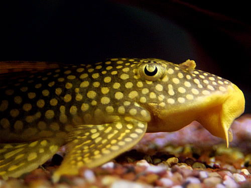 Algae Eaters Facts And Information Sunshine Pleco