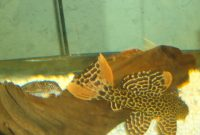 Awesome Algae Eating Fish Plecostomus in Aquarium: Leopard Cactus Pleco 2