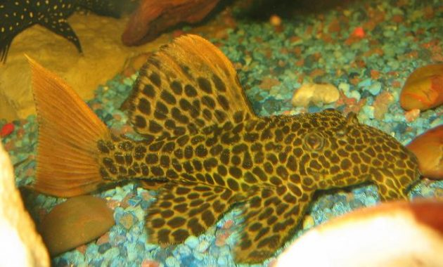 Awesome Algae Eating Fish Plecostomus in Aquarium: Leopard Cactus Pleco 3