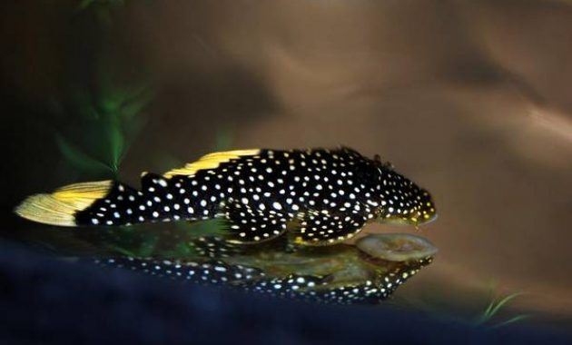 Awesome Algae Eating Fish Plecostomus in Aquariums: Spotted Bulldog Pleco 2