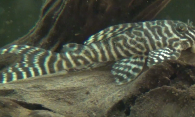 Awesome Algae Eating Fish Plecostomus in Fish Tank: King Tiger Pleco