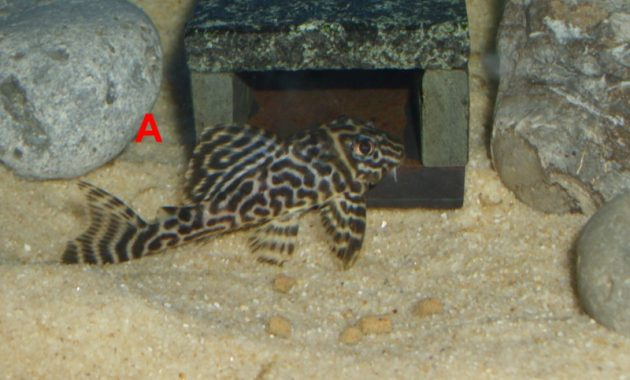 Awesome Algae Eating Fish Plecostomus in Fish Tank: King Tiger Pleco 3