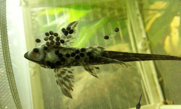 Awesome Algae Eating Fish Plecostomus in Planted Tank: Whiptail Catfish 3