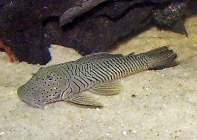 Best Algae Eater Freshwater Aquarium Thomasi Pleco Or Bulldog Pleco Fish