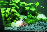Best Live Plants For Betta Anubias Nana Petite 3