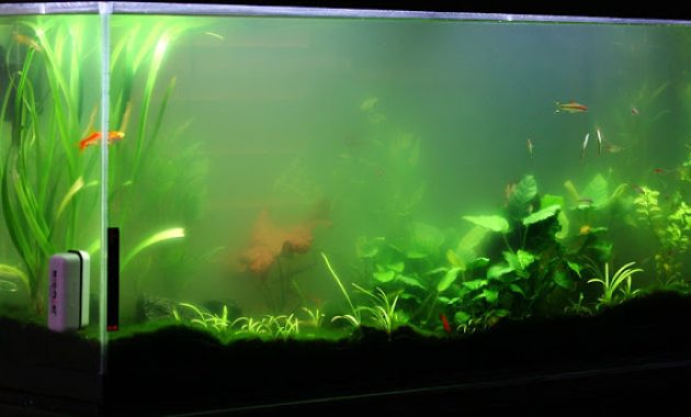 How to Stop Algae Growth Green Water in Freshwater Aquarium 3