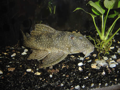 Catfish Algae Eaters For Freshwater Tank Angelicus Pleco Fish