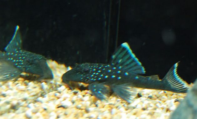 Cleaner Algae Eating Fish Plecostomus in Aquariums: Blue Phantom Pleco 3