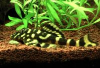Cleaner Algae Eating Fish Plecostomus in Freshwater Aquarium: Butterfly Pleco