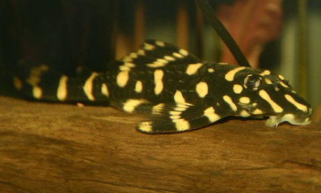 Cleaner Algae Eating Fish Plecostomus in Freshwater Aquarium: Butterfly Pleco 2