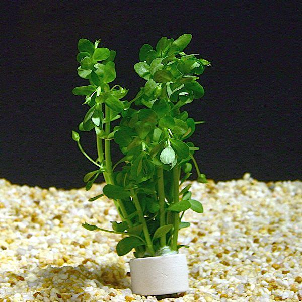 Common Freshwater Aquarium Plants For Beginner Moneyworth or Bacopa Monnieri