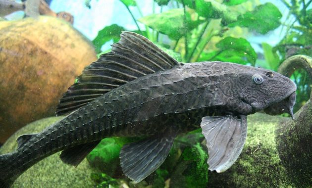 Common Pleco The Best Algae Eating Fish For Aquarium 2