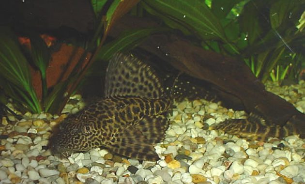 Common Pleco The Best Algae Eating Fish For Aquarium 3
