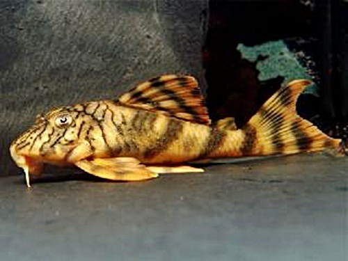 Different Types Of Plecostomus Fish - Rio Negro Pleco Fish