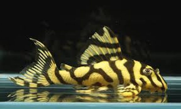Effective Algae Eating Fish Plecostomus in Aquariums: Candy Striped Pleco 2