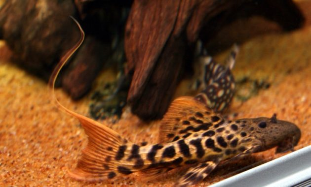 Effective Algae Eating Fish Plecostomus in Fish Tank: Titanicus Pleco 2