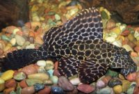 Effective Algae Eating Fish Plecostomus in Freshwater Aquariums: Sailfin Pleco