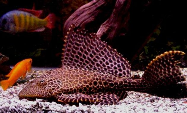 Effective algae eating fish plecostomus in freshwater for Pleco fish food