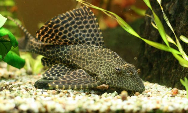 Effective Algae Eating Fish Plecostomus in Freshwater Aquariums: Sailfin Pleco 3