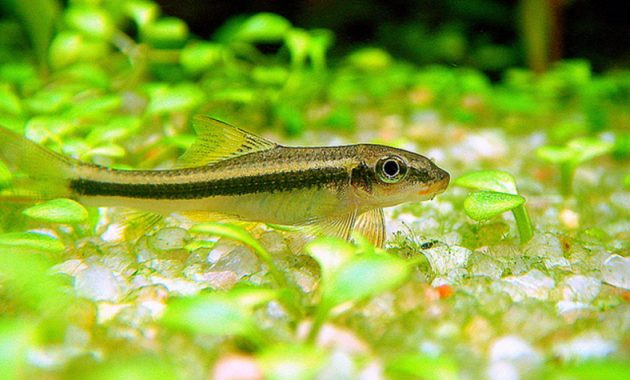 Effective Copy of Siamese Algae Eating Fish: Garra Cambodgiensis (False Siamese Algae Eater) 3