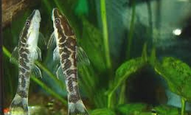 Effective Otocinclus Algae Eater Clean Up Team in Aquarium: Zebra Otocinclus 3
