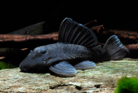 Excellent Algae Eating Fish Plecostomus in Aquariums: Blue Panaque Pleco