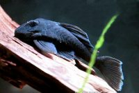 Excellent Algae Eating Fish Plecostomus in Aquariums: Blue Panaque Pleco 2