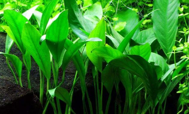 Freshwater Low Light Aquarium Plants: Anubias Barteri Var Angustifolia