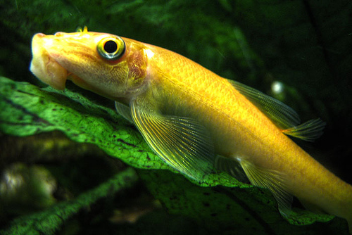 the best freshwater algae eaters in fish tank chinese