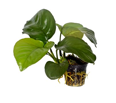 Plants That Live In The Tropical Rainforest Anubias Caladiifolia
