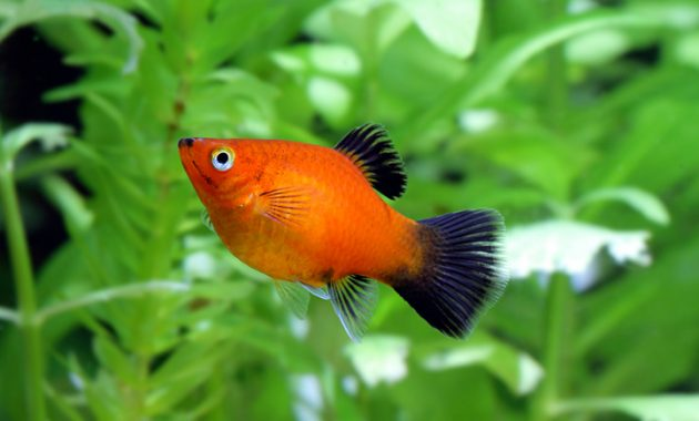 Platy Fish The Popular Freshwater Algae Eaters in Aquariums 2