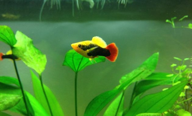 Platy Fish The Popular Freshwater Algae Eaters in Aquariums 3