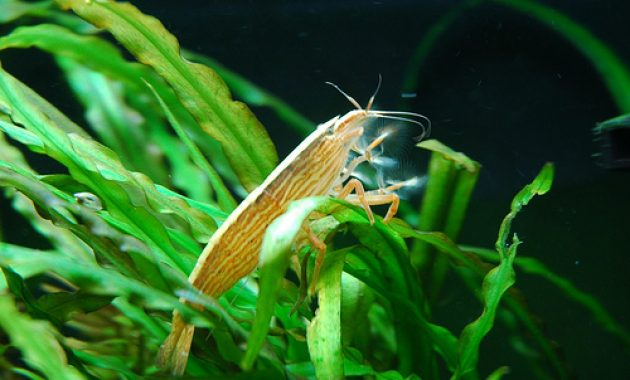 The Amazing Algae Eating Shrimp in Freshwater Aquarium: Bamboo Shrimp 3