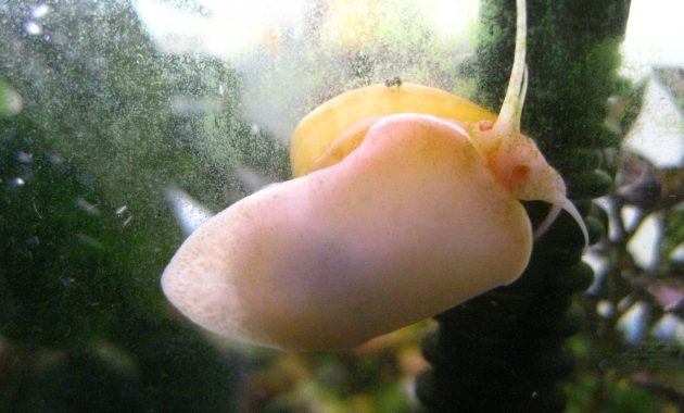 The Best Algae Eater Snails in Freshwater Aquarium: Inca Snail 2
